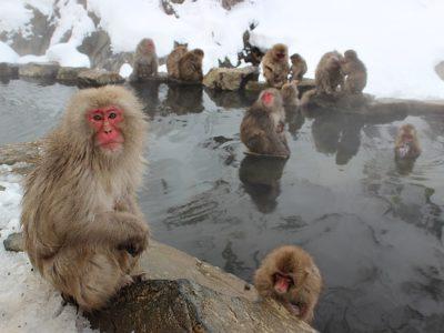 snow-monkeys-1394883_640